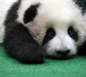 パンダは模様が9割